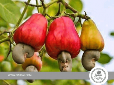 Cashew plantation by 2,000 farmers in Sierra Leone