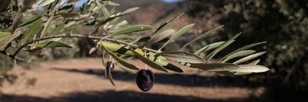 Overview of the Olive Oil Sector in Tunisia