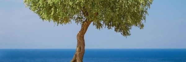 The Olive tree : Ecological Impact