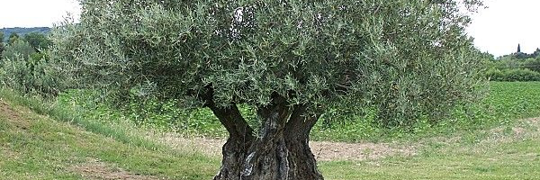 Challenges of olive oil sector in Tunisia