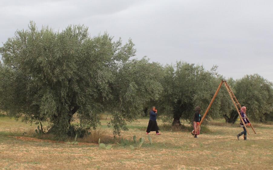 Qartaj_Olive_Wood_Tree_Tunisia