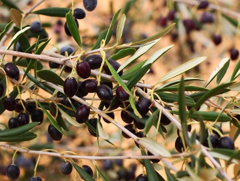 Qartaj_Tunisia_photos_olives_oil_huile_sfax_food_tree_arbre